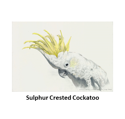 Sulphur Crested Cockatoo.png