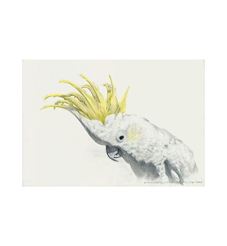 Sulphur Crested Cockatoo cropped.png