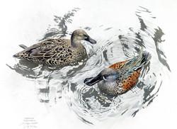 Blue Duck Pair cropped.jpg