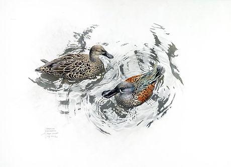 Shoveller Duck Pair.jpg