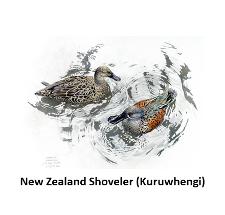 New Zealand Shoveler.png