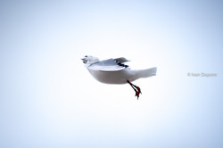 Seagull's winter ballet