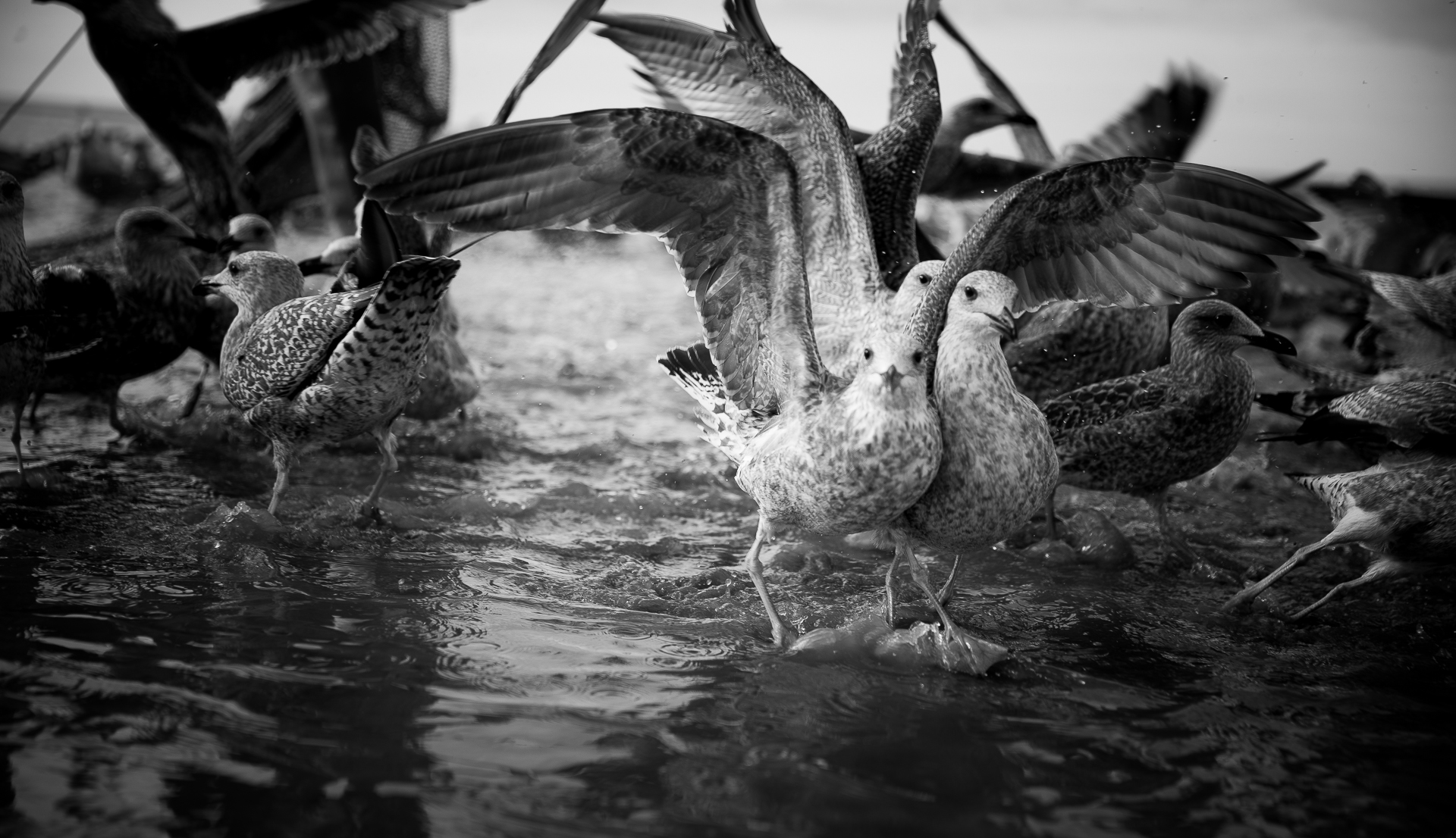 Seagulls enjoying the result of fish