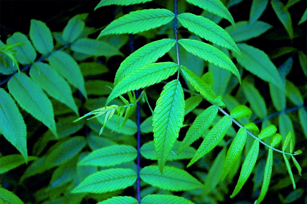 Green%20Leaves_edited.jpg