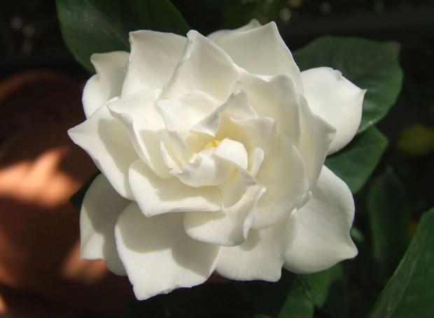 Flor branca - gardênia