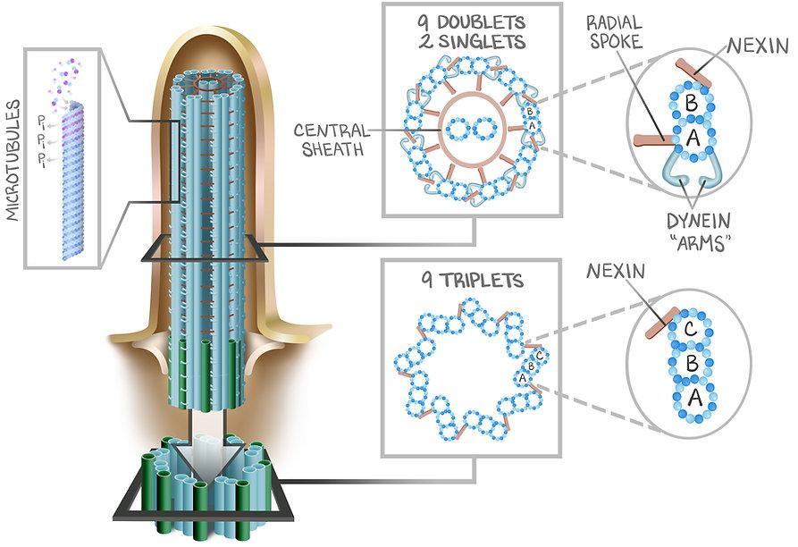 Gen Phys Figure 4.2 cilia.jpg