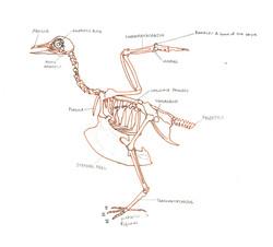 Avian skeletal anatomy