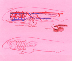Circulatory system of a dogfish