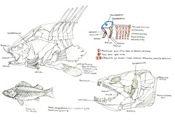 Evolution of the brachial arches