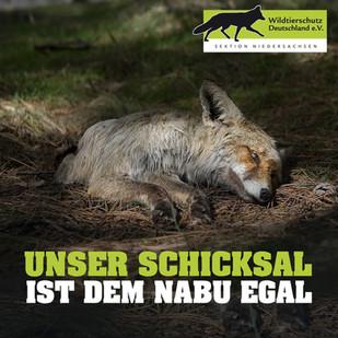 NABU will ethische und nachhaltige Jagd, nimmt aber weiter Fallen- und Baujagd auf den Fuchs in Kauf