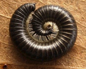 Creature Feature - Tasmanian Millipede