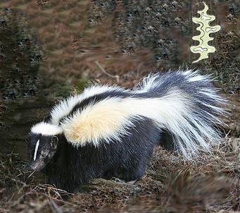 Skunk 2.jpg