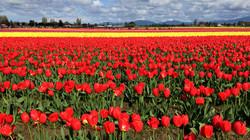 LD_Snaps_C_W_Tulips