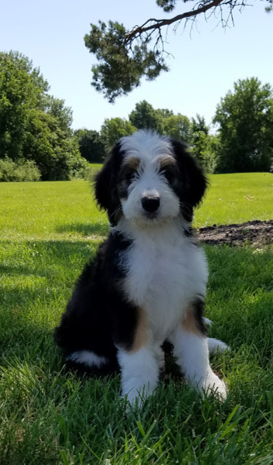 Bernedoodle Puppies for Sale | Midwest | Missouribernedoodles
