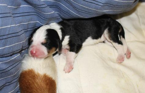newborn Bernedoodle puppy