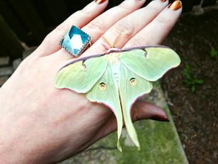 How to Raise & Release Luna Moths!
