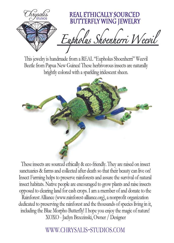 eupholus shoenherri postcard.jpg