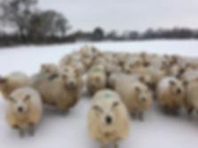 snow sheep scene sm.jpg