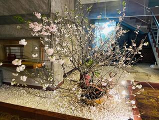 古河市のホテル山水♡優雅な桜が迎えてくれました