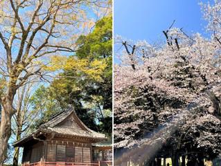 古河市のお雀神社にお参り♡桜もさくら・・・舞う花びらも美しく淡い虹色♡光の帯もキレイです