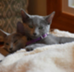 Russian blue cat breeder