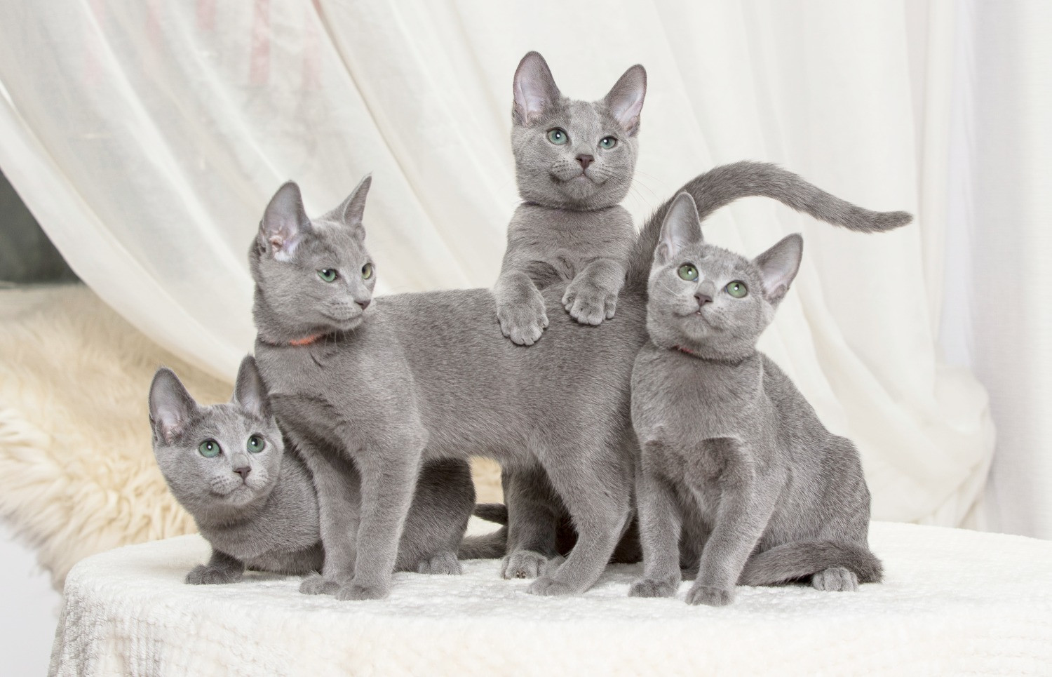 Royal Blues Russian Blue Cattery Contact Us Page