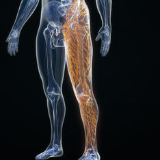 Joints, Muscles, Nerves