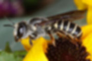 Hostile Leafcutter Bee - Megachile inimica sayi (female) (c) 2016 Sharp-Eatman photo