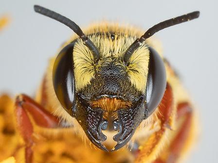 Hostile Leafcutter - Megachile inimica - (c) Copyright 2019 Paula Sharp