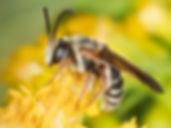 Dieunomia nevadensis bakeri - (c) Copyright 2019 Paula Sharp