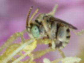 Anthophorula compactula bee - (c) Copyright 2019 Paula Sharp