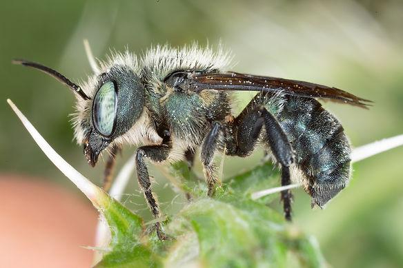 A male steel-blue mason bee; Osmia chalybea; Copyright 2021 Paula Sharp