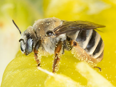 WJPEG-Striped-Bee-on-Prickly-Pear-Facing