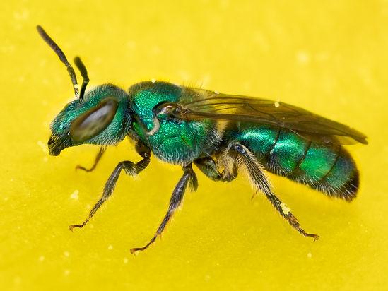 Augochlora azteca sweat bee - (c) Copyright 2019 Paula Sharp