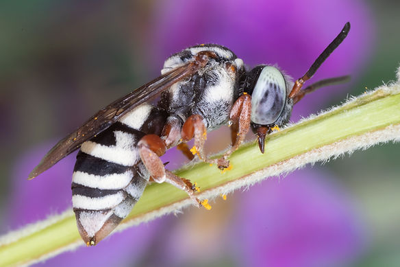 Triepeolus vernus cuckoo bee - (c) Copyright 2019 Paula Sharp