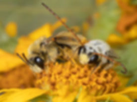 Tetraloniella wilmattae female and male long-horned bees