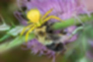 Goldenrod Crab Spider with Bombus impatiens - (c) Copyright 2017 Paula Sharp