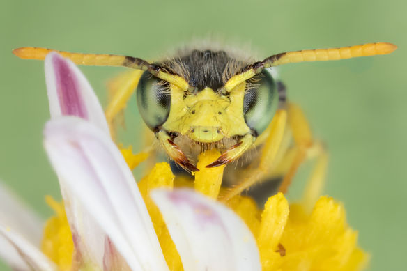 WJPEG-Calliopsis-hondurasica-NBC-#374-fr