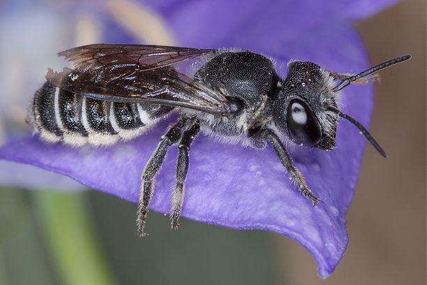 Bellflower Resin Bee - Megachile campanulae - (c) 2015 Sharp-Eatman Photo