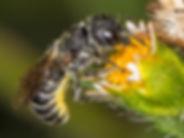 Heriades carinata Resin Bee - (c) 2015 Sharp-Eatman Photo