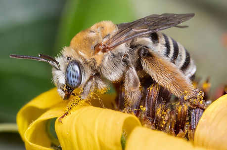 Melissodes tepaneca; Tepanec long-horned bee; Copyrigt 2018 Ross Eatman