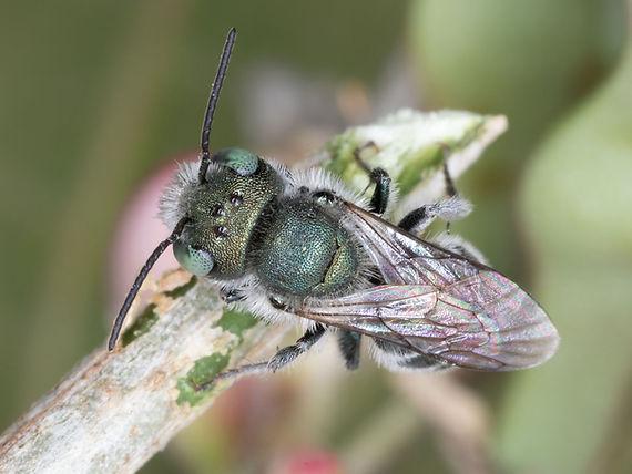 Osmia subfasciata mason bee; Copyright (c) 2020 Paula Sharp