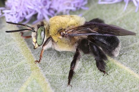 Centris nitida oil-digger bee - (c) Copyrigt 2018 Paua Sharp