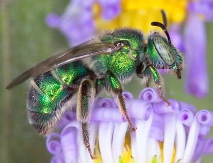 Augochloropsis metallica green sweat bee - (c) Copyright 2018 Paula Sharp