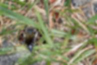 A female Immaculate Cuckoo Leafcutter Bee - Coelioxys immaculata - (c) 2017 Sharp-Eatman Photo