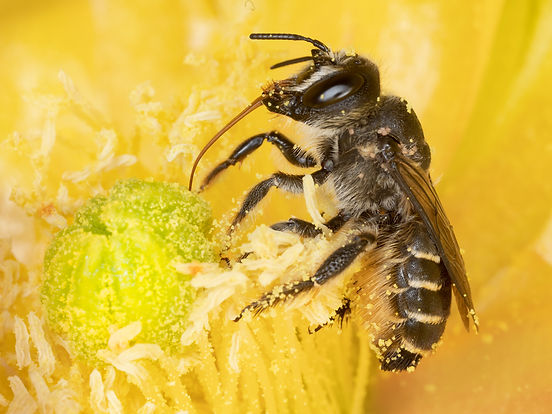 Lithurgopsis littoralis woodborer bee - (c) Copyright 2019 Paula Sharp