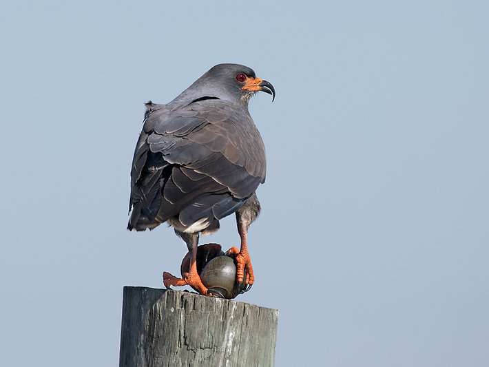 Male Snail Kite with Apple Snail - (c) Copoyright 2018 Paula Sharp.  Regstered Copyright.