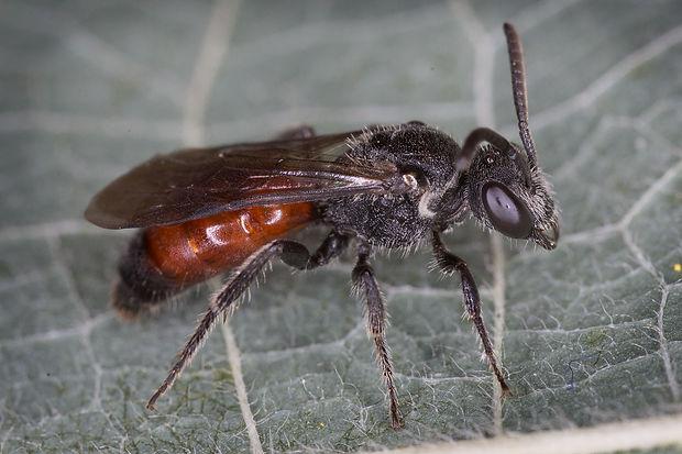 Sphecodes johnsonii Cuckoo Bee  (male)  (c) Copy 2016 Eatman Photo