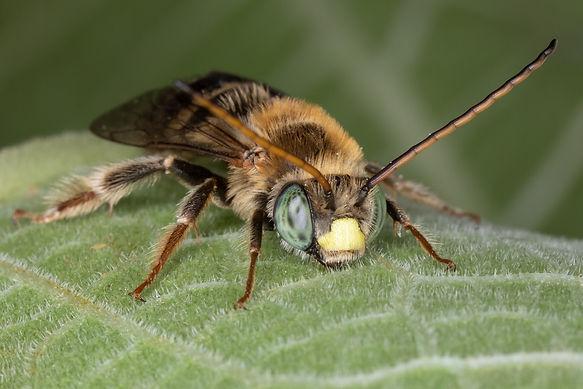 Florilegus condignus long-horned bee - (c) Copyright  2019 Paula Sharp