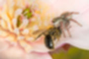 Andrena miserabiis bee being eaten by Jumping Spider - (c) Copyright 2016 Sharp - Eatman Photo